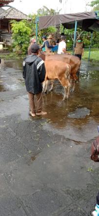 Penyerahan Bantuan Sapi Lokal Bali oleh Kementian Pertanian RI